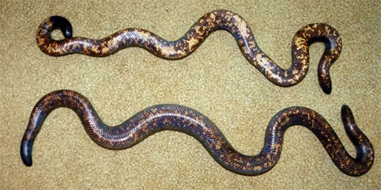 A gravid female Calabar contrasted with a male. The female has significantly wider girth in the center of her body.