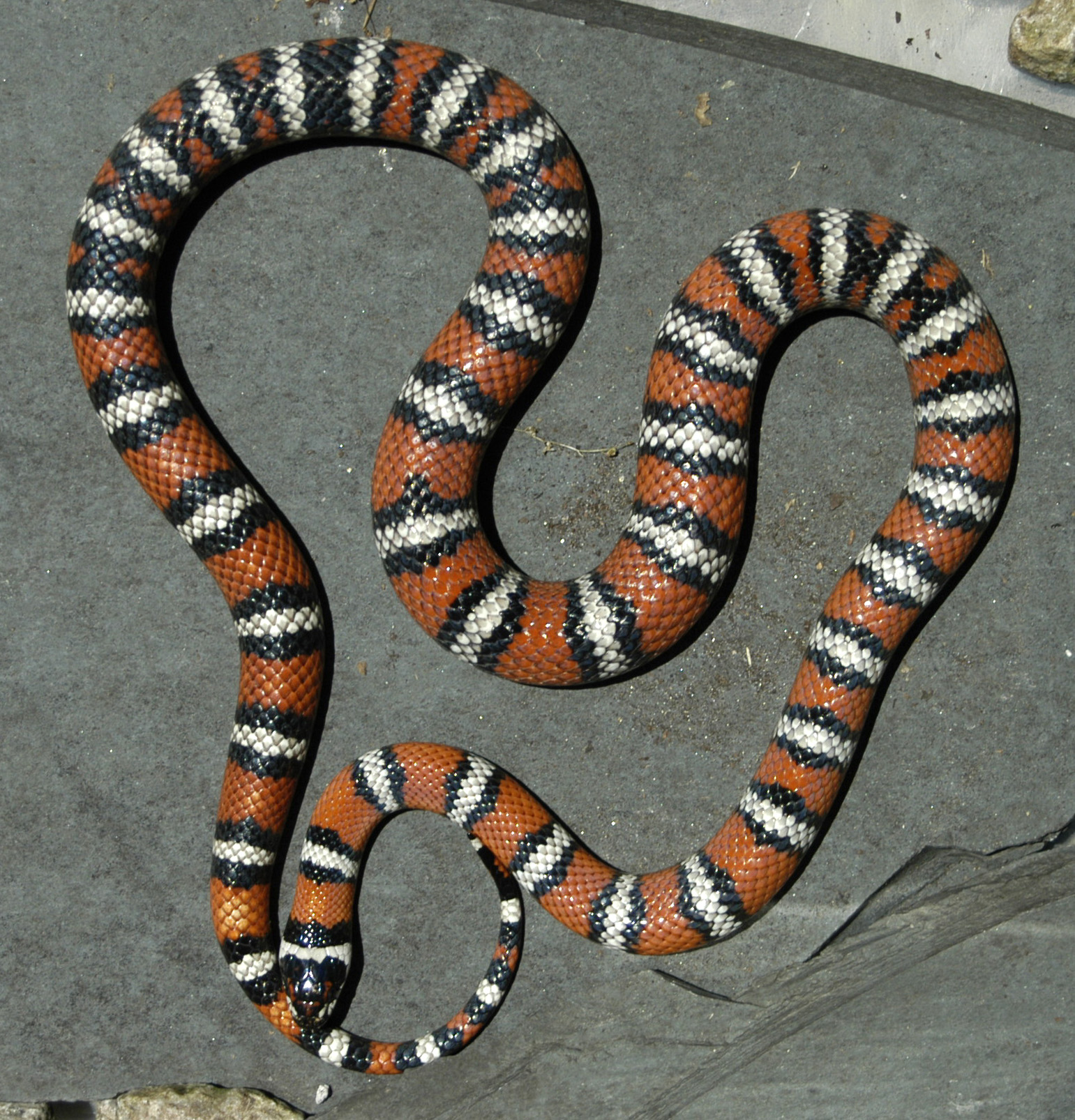 Mountain Kingsnake - female -2006