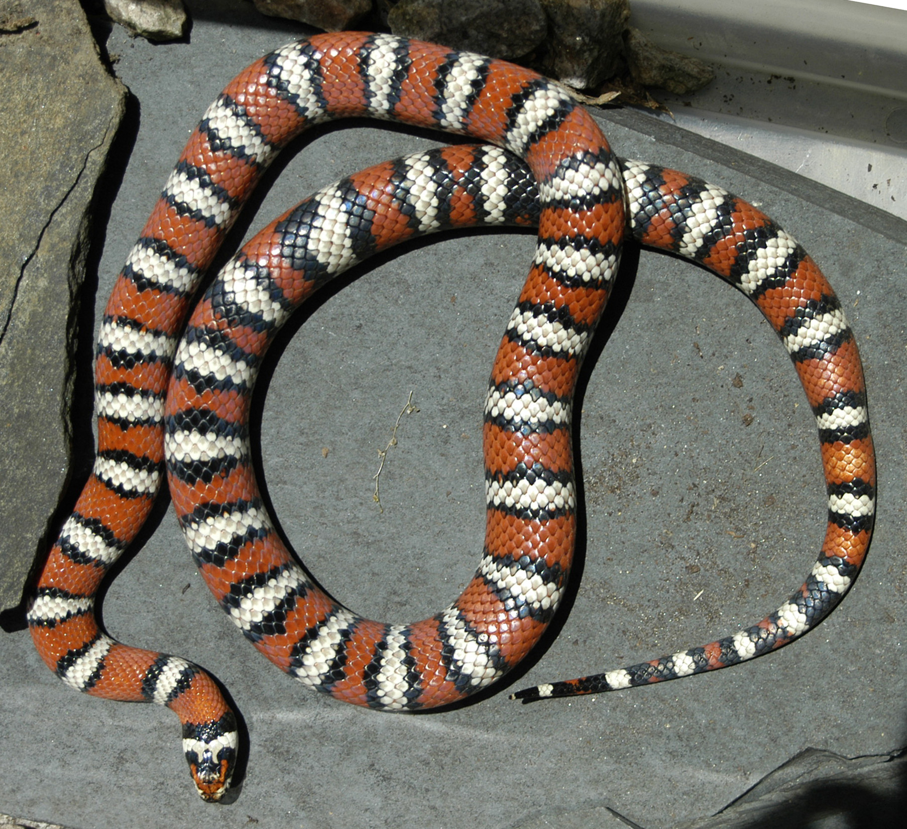 Mountain Kingsnake - male - 2006